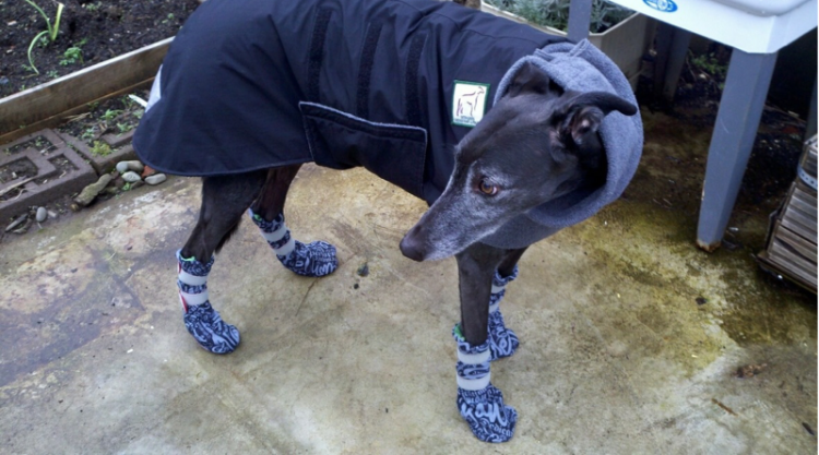 Black greyhound wearing a jacket and snow boots